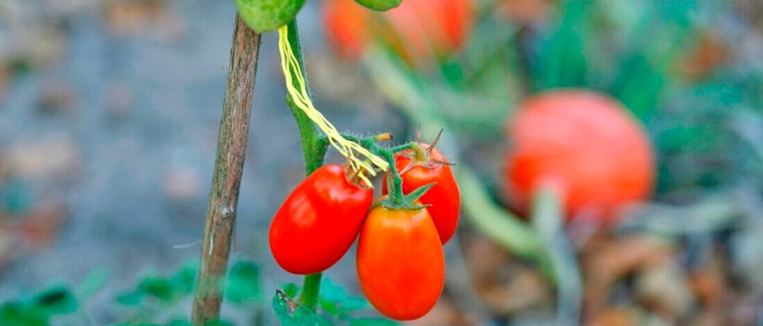 pomidorki 1100X600